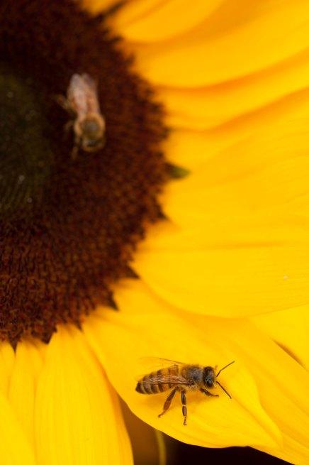 Florida Honey Bee